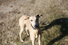 Red greyhound Stock Photo