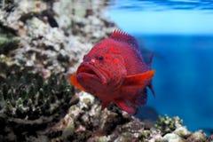 Red groper (Cephalopholis miniata) stock photos