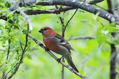 A red grosbeak in alaska Royalty Free Stock Photos