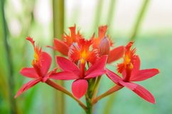 Red ground orchid flower Royalty Free Stock Photography
