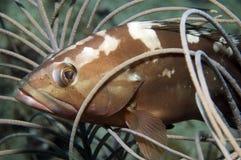 Red Grouper. Epinephelus morio peeking throuh a gorgonian Royalty Free Stock Images