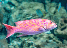 Red grouper. The red grouper (cabrilla, hilus royalty free stock images