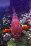 Red grouper in a coral reef Royalty Free Stock Image