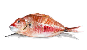 Red grouper fish. Red grouper  fish lies on the table ready for roasting  . Handmade watercolor painting illustration on a white paper art background Royalty Free Stock Photos