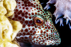 Red grouper or hind Stock Photo