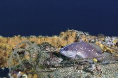 Red Grouper Juvenile - Macs Reef Stock Images