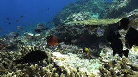 Red grouper in a school of colorful fish. stock footage