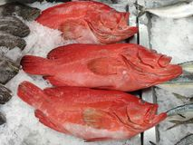 Red grouper on ice for sell. Red grouper sell fresh cook size many fish sea blacktip banded ice stock photos