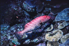Red Grouper. Spiny Lobster on coral reef, Los Roques,Venezuela Royalty Free Stock Images