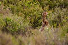 Red grouse Royalty Free Stock Photos