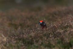 Red Grouse in the Cairngorms, Scotland, in early spring Stock Photography