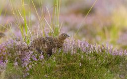 Red Grouse crouching low in purple heather, looking to the right royalty free stock photo