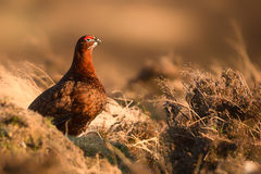 Red Grouse at Golden Hour Royalty Free Stock Photo