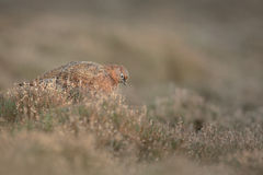 Red Grouse Hen Royalty Free Stock Photography