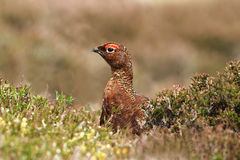 Red Grouse (Lagopus lagopus scotica) Stock Photography
