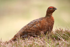 Red Grouse (Lagopus lagopus scotica) Royalty Free Stock Photography