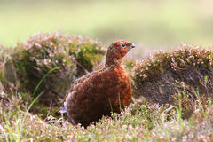 Red Grouse (Lagopus lagopus scotica) royalty free stock photo