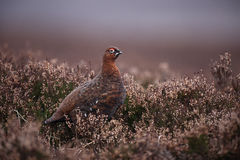 Red grouse, Lagopus lagopus scoticus Royalty Free Stock Photography