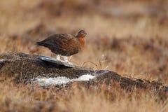 Red grouse, Lagopus lagopus scoticus Stock Photos
