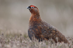 Red grouse, Lagopus lagopus scoticus Royalty Free Stock Photo