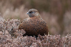 Red grouse, Lagopus lagopus scoticus Royalty Free Stock Photos
