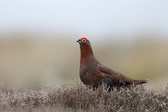 Red grouse, Lagopus lagopus scoticus Stock Image