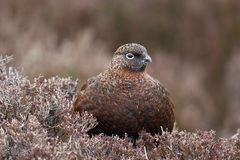 Red grouse, Lagopus lagopus scoticus Stock Photography