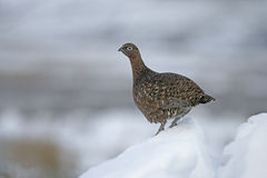 Red grouse, Lagopus lagopus Stock Photography