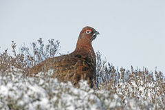 Red grouse, Lagopus lagopus Royalty Free Stock Images