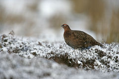 Red grouse, Lagopus lagopus Royalty Free Stock Photo