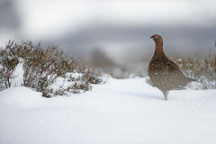 Red grouse, Lagopus lagopus Stock Image