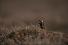 Red grouse, Lagopus lagopus Royalty Free Stock Photos