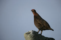 Red grouse, Lagopus lagopus Royalty Free Stock Image