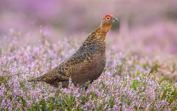 Red Grouse, male cockbird in purple heather royalty free stock images
