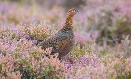 Red Grouse, male cockbird in purple heather stock photo