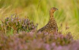 Red Grouse in purple heather and grasses, looking to the right stock photo
