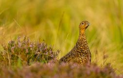 Red Grouse in purple heather and grasses, looking to the right stock image