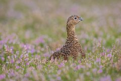 Red Grouse in purple heather, looking to the right stock photo