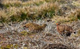 Red Grouse, Scientific name: Lagopus Lagopus.  A male and female pair of Grouse. Red Grouse, Scientific name: Lagopus Lagopus.  Breeding pair of Red Grouse in stock photos