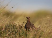 Red grouse. Set in heather Royalty Free Stock Images