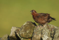Red grouse sitting on a dry stone wall Stock Photos