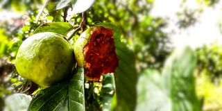 Red guava fruit. Forest green royalty free stock image