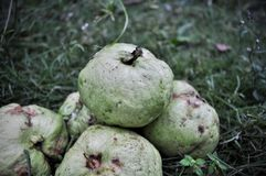 Red guava isolated on green grass. Tropical fruit concept .Guava fruits royalty free stock photography