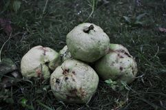 Red guava isolated on green grass. Tropical fruit concept .Guava fruits royalty free stock images