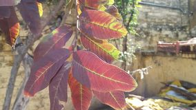 Red Guava leaves. Light colors this beautiful picture has been taken at mirpur national park stock photography