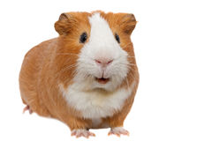 Red guinea pig. Over white background Stock Photo