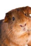 Red guinea pig Stock Photos