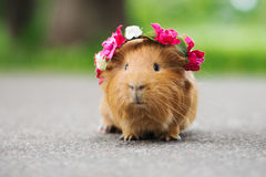 Red guinea pig in a flower crown Royalty Free Stock Image