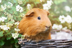 Red guinea pig outdoors in summer Stock Images