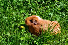 Red Guinea Pig Royalty Free Stock Photo